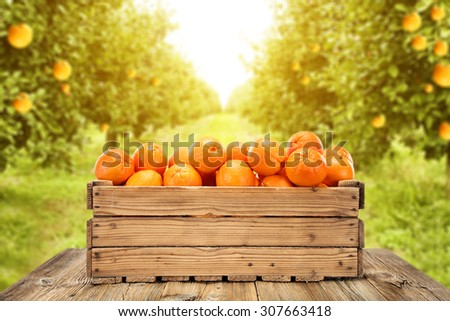 decoration of wooden box and orange fruits and orange garden space  - stock photo