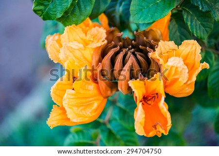 Decorative african tulip tree flower flame of the forest Tobago Caribbean - stock photo