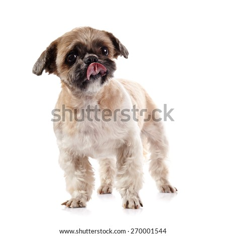 Decorative amusing licking lips doggie of breed of a shih-tzu