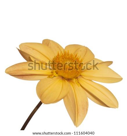 Decorative beautiful yellow flower - stock photo