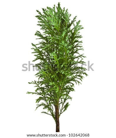 Decorative Conifer Sapling Tree Isolated on a white - stock photo