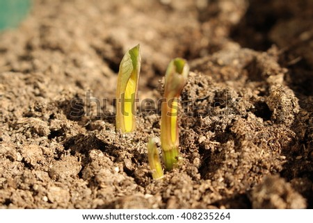 Decorative dahlia seeds freshly sprout in the fertilized soil in April - stock photo