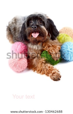Decorative dog. Puppy of the Petersburg orchid. Dog wool. Small doggie. - stock photo