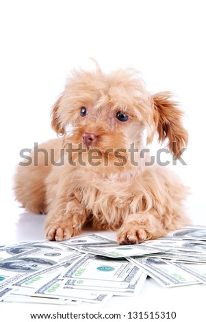 Decorative doggie and dollars. Small doggie. Decorative thoroughbred dog. Puppy of the Petersburg orchid. Shaggy doggie.