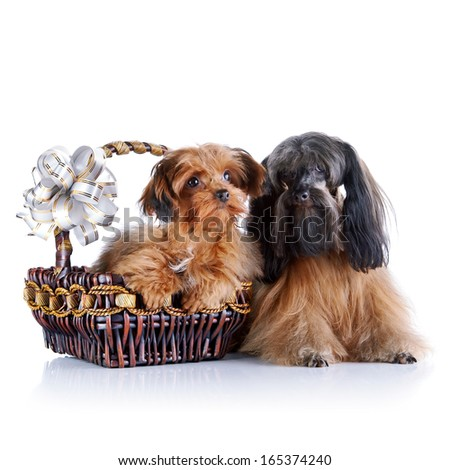 Decorative doggies with a basket and a bow. Decorative dogs. Breed doggies Petersburg orchid.
