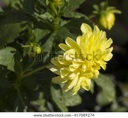 Decorative  double  canary yellow cactus dahlia a genus of bushy, tuberous, herbaceous perennial plants  in bloom in  summer  is  a  magnificent addition to any   garden with long lasting flowers.  - stock photo