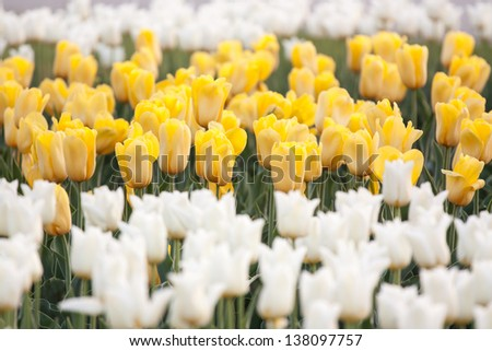 decorative flower-bed of yellow and white tulips