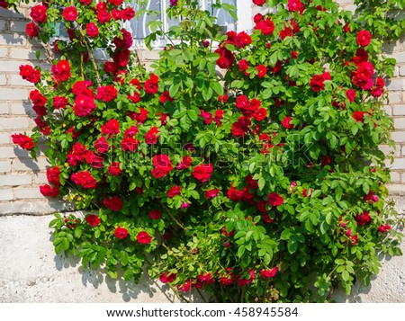 decorative flowers bush of red roses in the open air in the garden