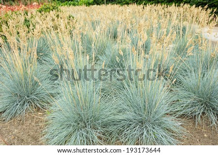 Decorative grass Blue fescue - tufts of grass - stock photo