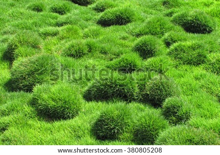 Decorative green grass of Zoysia tenuifolia in the park - stock photo