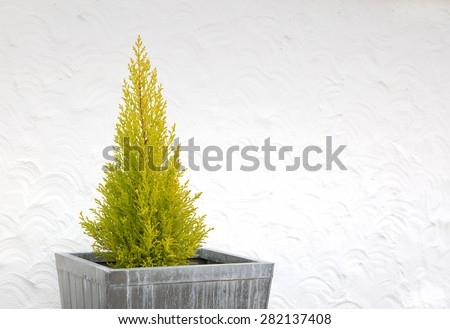 Decorative leylandii tree in a square tub in front of white wall - stock photo