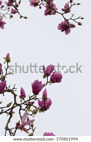 Decorative magnolia branches and blossoms against a white sky