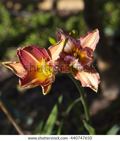 Decorative  russet red yellow  and cream  day lilies  blooming in early winter are  a delightful addition to the garden landscape. - stock photo