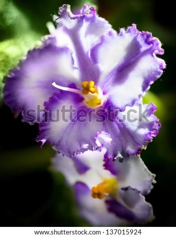 Decorative Terry Violet Flowers Macro on Dark Background - stock photo