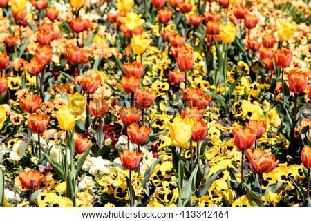 Decorative tulips, spring landscape