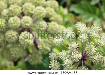 Decorative umbels of wild celery. Shallow depth of field - stock photo