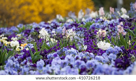 Decorative violets on the flowerbed in city park - stock photo