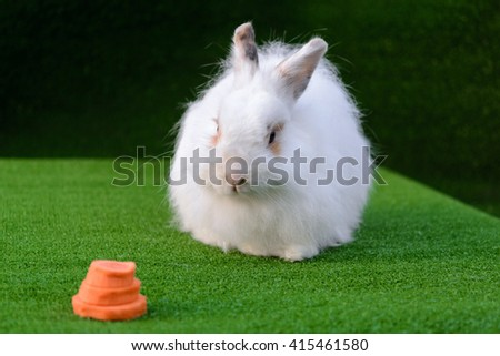 Decorative white angora rabbit closeup. On lawn with a carrot. Fluffy and cute bunny.