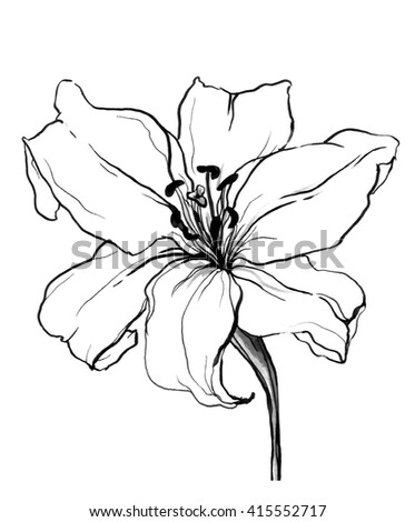 Decorative White Lily Flower In Blossom Isolated Background Hand Drawn Watercolor Botanical Black And