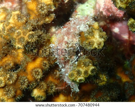 Decorator Crab Hiding in Yellow Hard Coral, Amesbury Shipwreck, Key West, Florida Keys