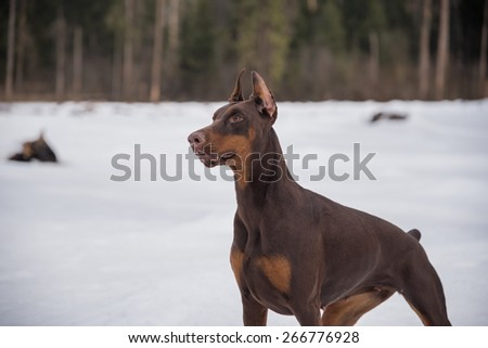 Dedicated doberman dog in the forest - stock photo