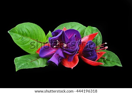Deep focus of purple red fuchsia flowers in full bloom and one half open with leaves isolated on black background - stock photo