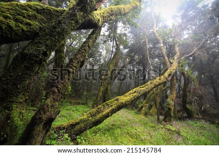 Deep forest in Garajonay National Park on La Gomera, Canary Islands (Las Islas Canarias). Nature background. - stock photo