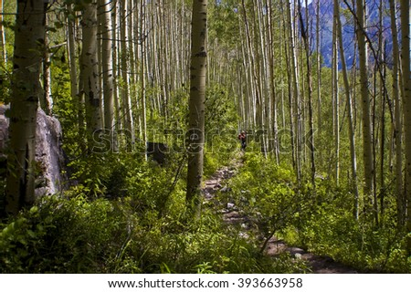 Deep in the Aspen Tree forest near Snowmass and Aspen , Colorado in the Elk Mountain Range of the Rocky Mountains. Aspen trees create the largest living organism on Earth like a mushroom.