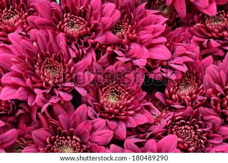 Deep Pink Chrysanthemums, England - stock photo