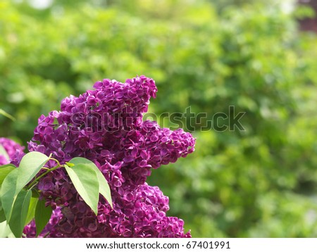 Deep purple lilac