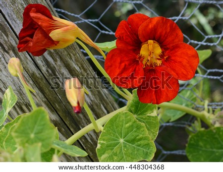 Deep red nasturtium flower growing against green leaves on a vine climbing a wire fence - stock photo