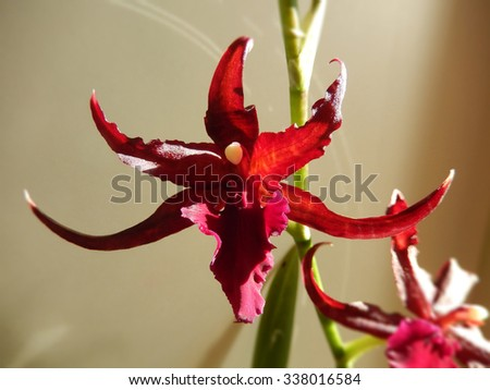 Deep red orchid blooming on a stem, with pointed petals  - stock photo
