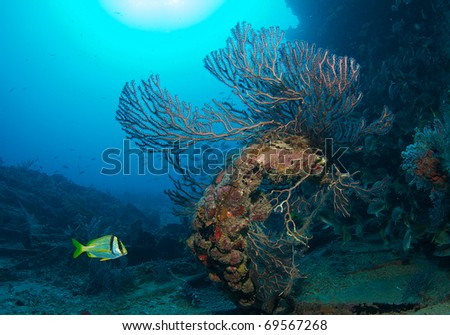 Deepwater Sea Fan growing on a an artificial reef.