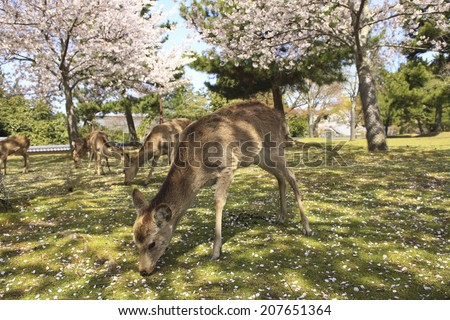 Deer And Cherry Of Nara Park - stock photo