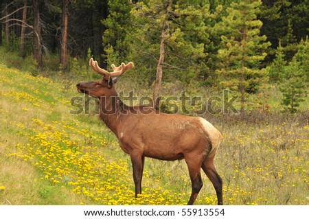 deer and wild flowers, banff national park, canadian rockies - stock photo