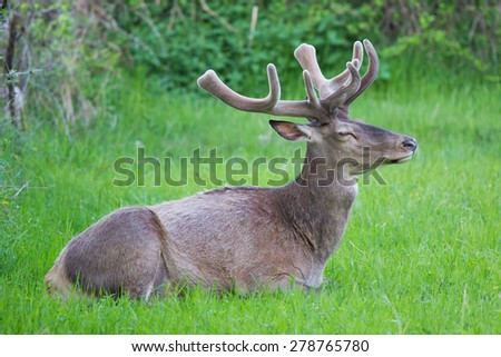 deer at rest - stock photo