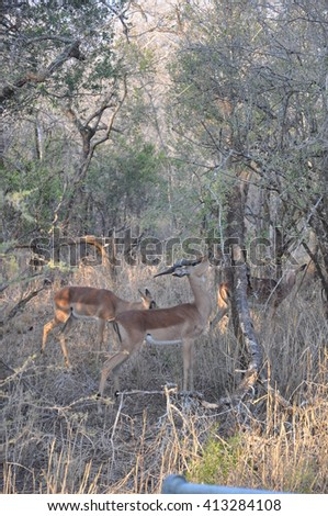 Deer at the Hluhluwe and imfolozi game park near St Lucia, South Africa