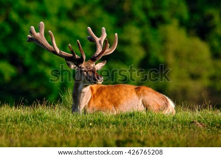 Deer, bellow majestic powerful adult red deer stag outside autumn forest, animal lying in the grass, nature habitat, France. Deer lying in green grass with forest in the background. Deer in nature.  - stock photo