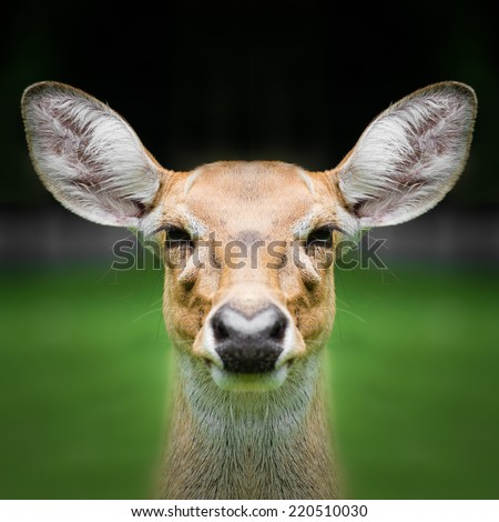 Deer face close up