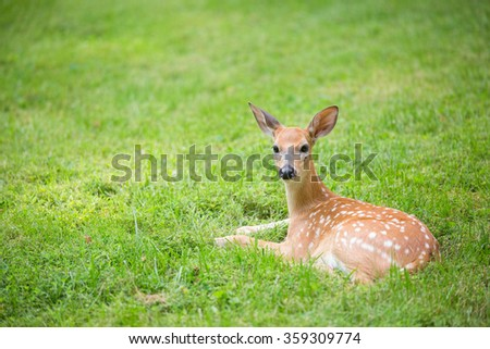 Deer fawn resting in a green grassy lawn - stock photo