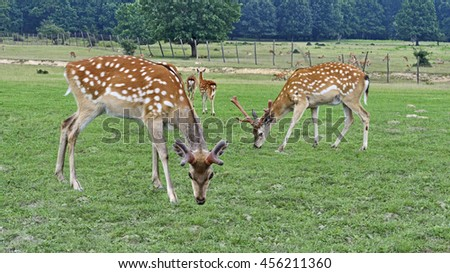 Deer firm near forest at Carpathians mountains. Herd of grazing deers