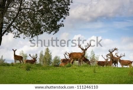 Deer flock in natural habitat - stock photo