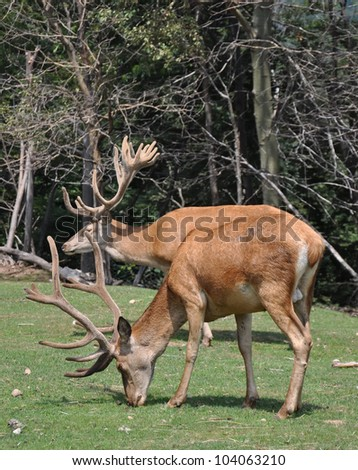 deer grazing on the edge of a forest