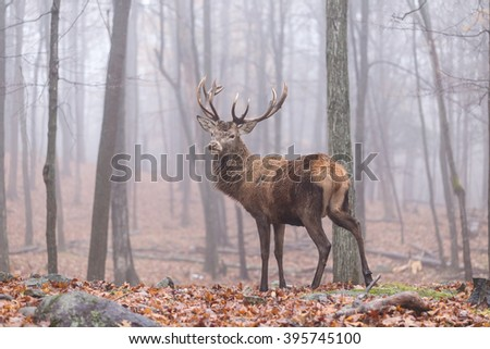 Deer in a foggy forest - stock photo