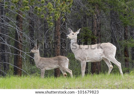 Deer in a forest, Jasper National Park, Alberta, Canada