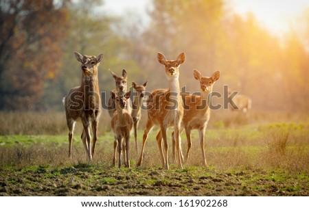 Deer in autumn field - stock photo