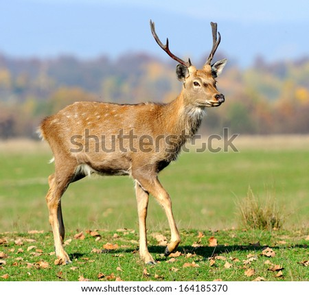 Deer in autumn field - stock photo