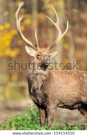 Deer in autumn forest - stock photo