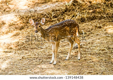 Deer in chiangmai zoo  chiangmai Thailand - stock photo