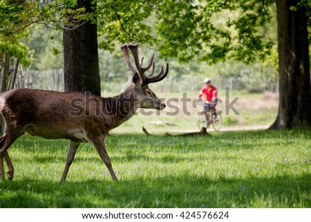 Deer in forest with person cycling in background. People and Nature. - stock photo